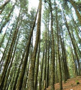 Karadeniz ormanları-Çam ağaçları