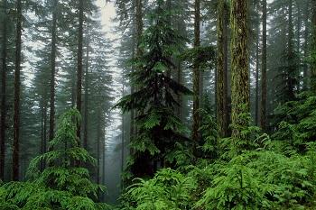 Karadeniz ormanları-İğne yapraklı ormanlar