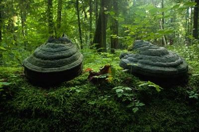 Białowieża Ormanı-Belarus-Polonya